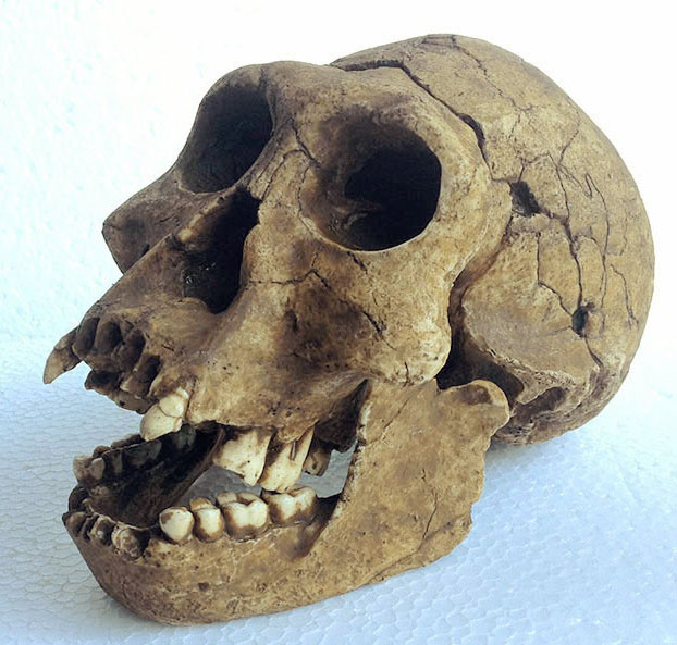 homo georgicus a type of hominid Homo georgicus is a species of homo that was proposed in 2002 it is based on fossil skulls and jaws found in dmanisi, georgia in 1999 and 2001, which seem intermediate between homo habilis and h erectus.
